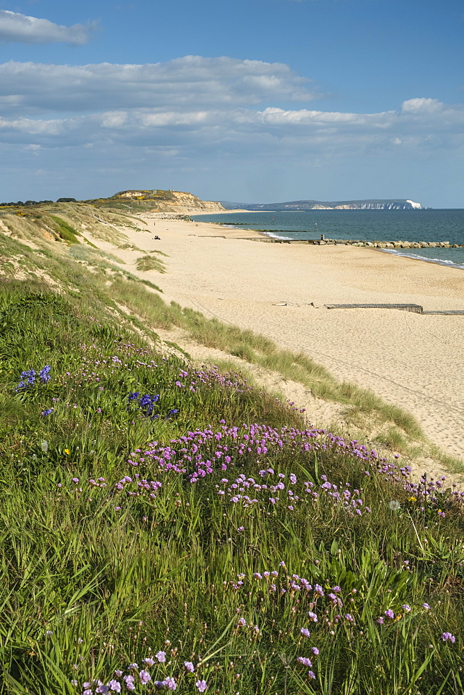 Sea pinks, Hengistbury Head Beach, Poole Bay, Bournemouth, with Isle of Wight in the background, Dorset, England, United Kingdom, Europe - 485-9705