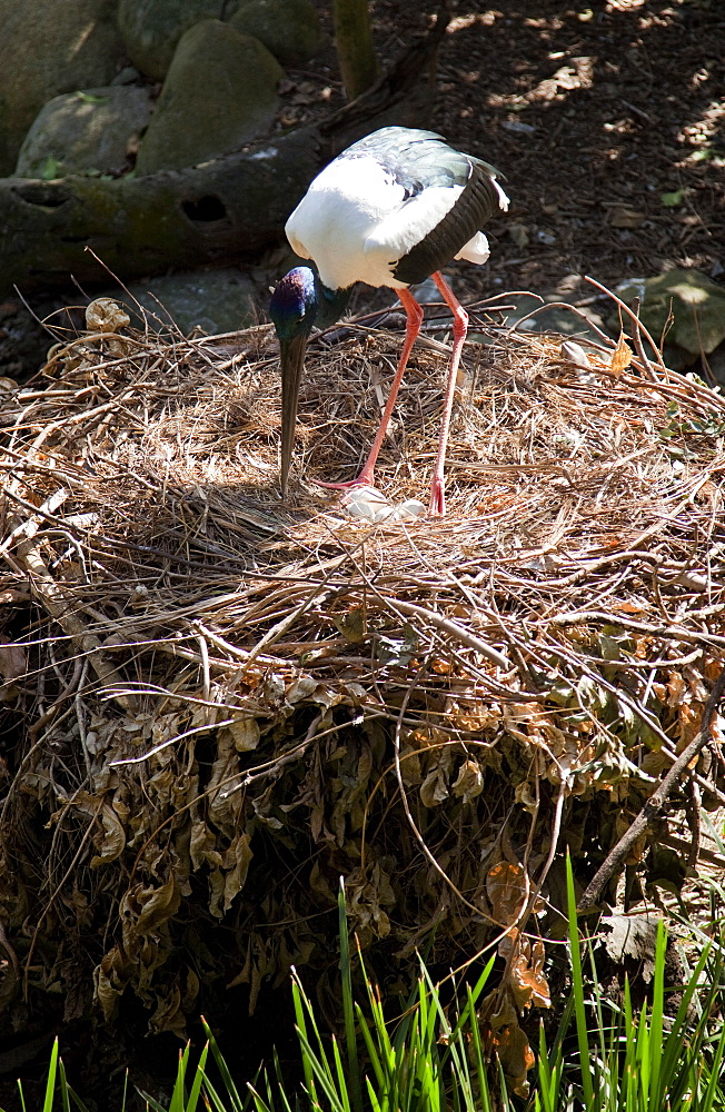 Black-necked stork (Ephippiorhynchus asiaticus) on nest with eggs, The Wildlife Habitat, Port Douglas, Queensland, Australia, Pacific