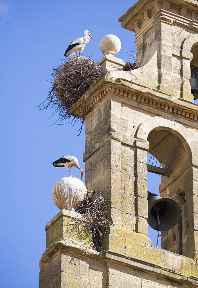Two European white storks (Ciconia ciconia) and their nests on a convent bell tower, against a blue sky, Santo Domingo, La Rioja, Spain, Europe