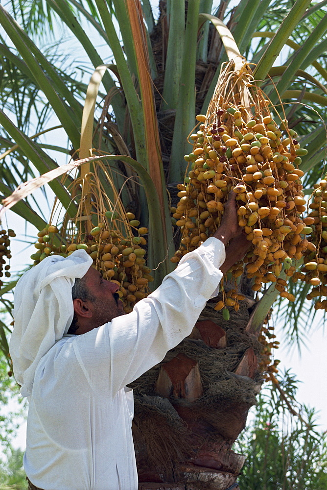 Man picking fruit from a date palm, Bahrain, Middle East