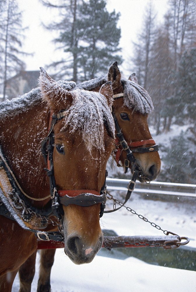 Horses pulling sleigh for sleigh rides to Pontressina in winter, Switzerland, Europe - 508-46411