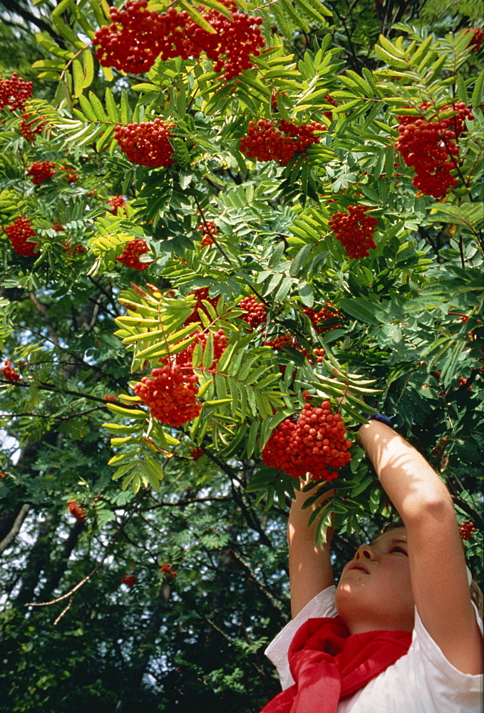 Picking roan tree berries in Norway, Scandinavia, Europe - 574-914