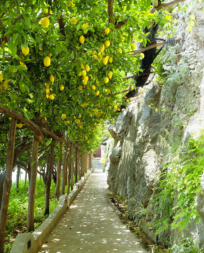 Lemon groves, Amalfi coast, Campania, Italy, Europe