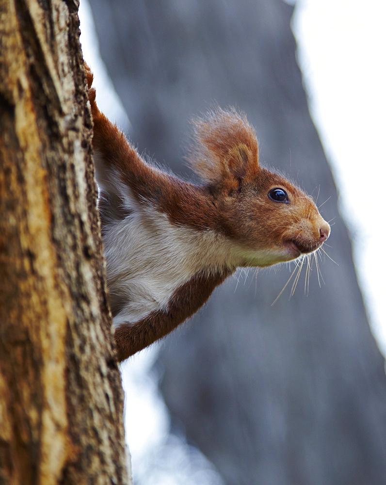 Red squirrel in Parque del Retiro, Madrid, Spain, Europe