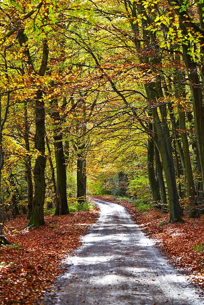 Burnham Beeches, Buckinghamshire, England, United Kingdom, Europe - 627-1244