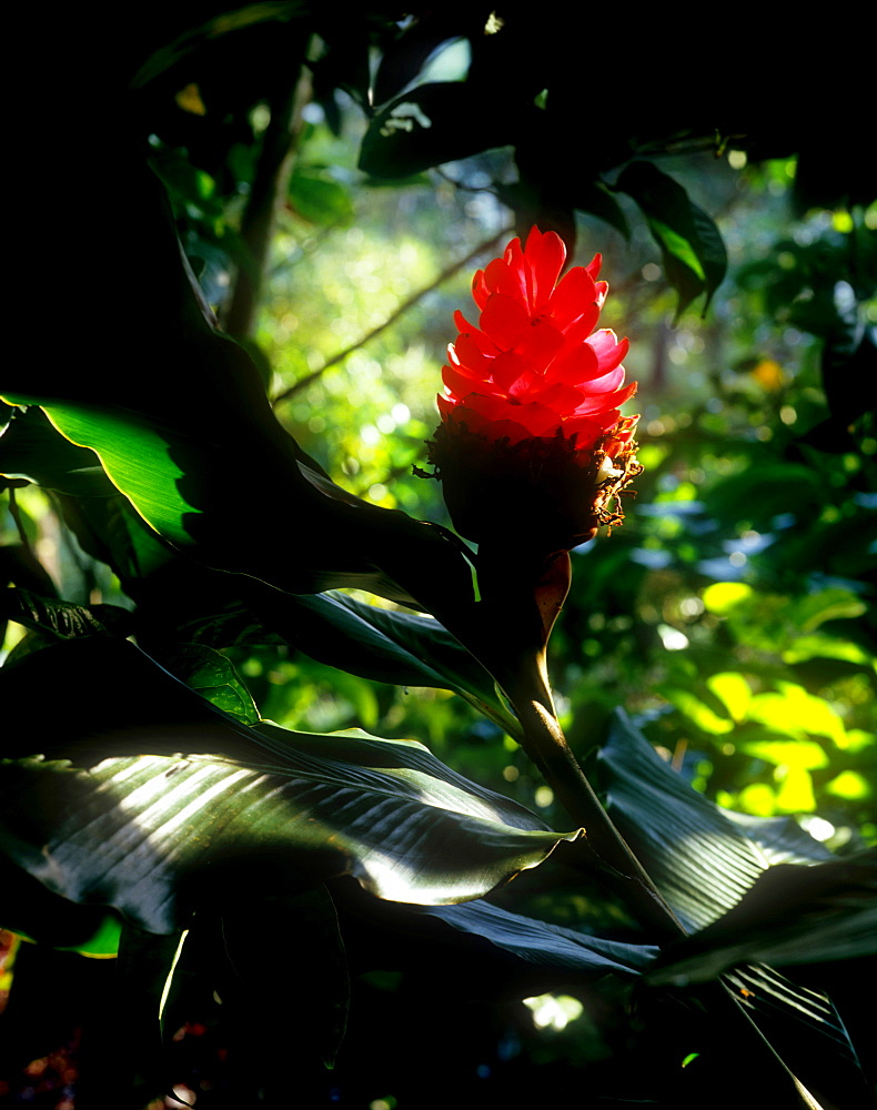 Torch ginger flower, Hawaii, United States of America, Pacific - 632-5543