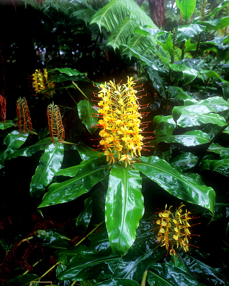 Kahili ginger flower, Hawaii, United States of America, Pacific