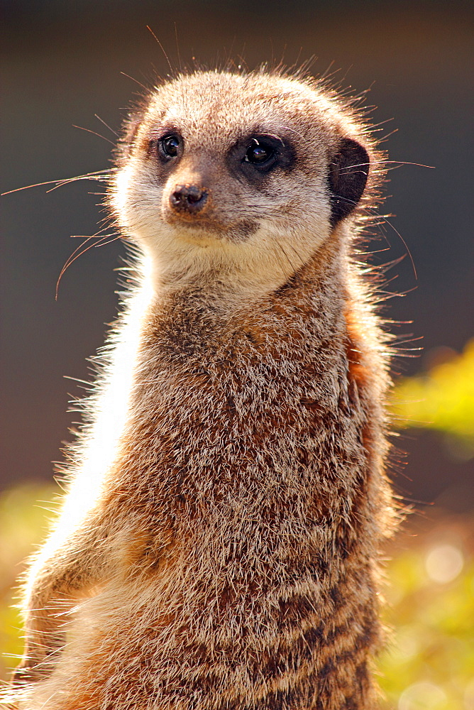 Meerkat (suricate) (Suricata suricatta), a small mammal belonging to the mongoose family, from the Kalahari Desert, Africa, in captivity in the United Kingdom, Europe - 64-1358