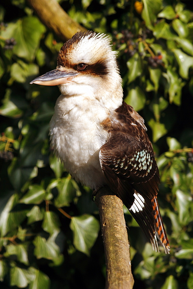 Kookaburras (genus Dacelo) are terrestrial kingfishers native to Australia and New Guinea, Pacific - 64-1359