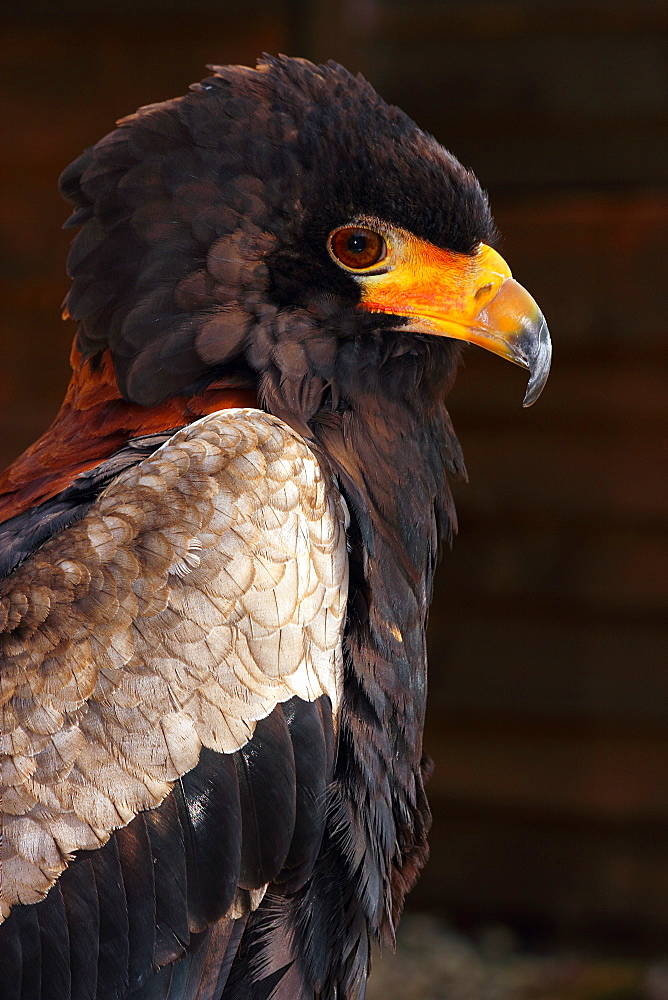 Bateleur (Terathopius ecaudatus) is a medium-sized eagle in the bird family Accipitridae, resident in Sub-Saharan Africa, in captivity in the United Kingdom, Europe - 64-1365