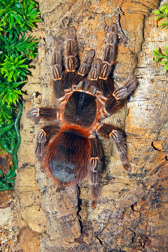 Brazilian Fire Red, one of the biggest tarantula giants, Brazil, South America - 64-1368