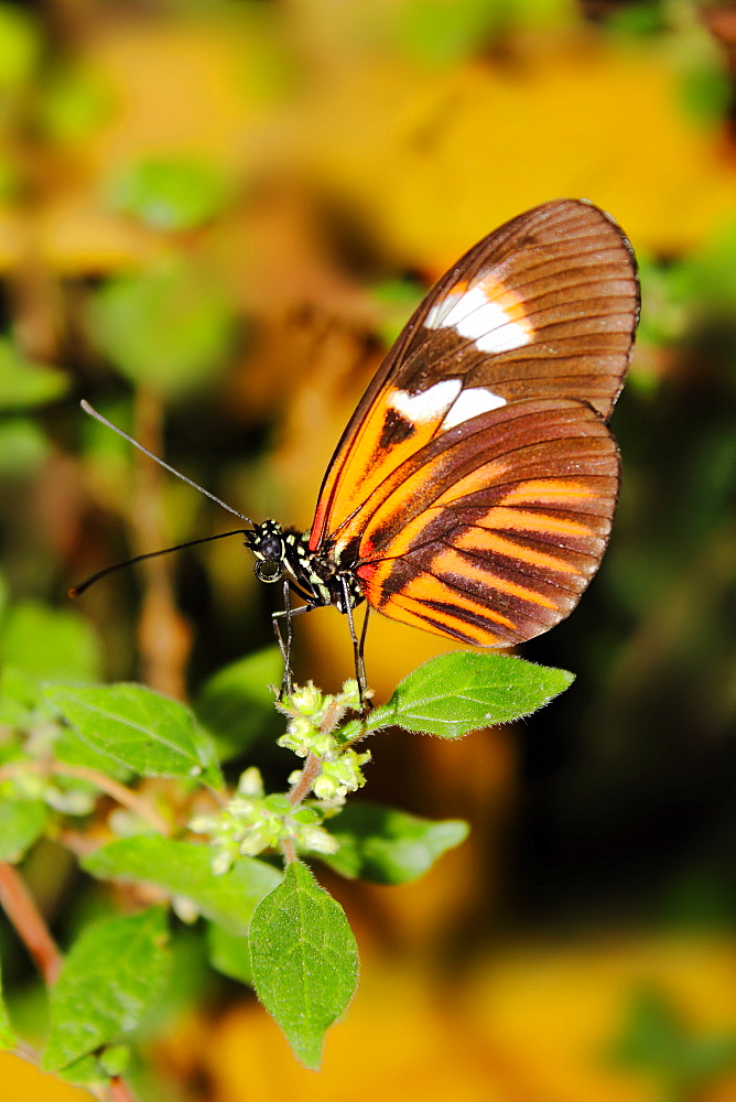 Hecales longwing butterfly (Heliconius hecale), widespread across South America - 64-1372