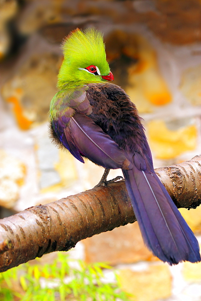 Livingstone's Turaco (Tauraco livingstonii) a species of bird in the Musophagidae family, living in the lowlands of southeast Africa, in captivity in the United Kingdom, Europe - 64-1381