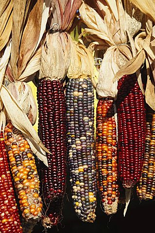 Indian ornamental corn,The Hamptons, Long Island, New York State, United States of America, North America