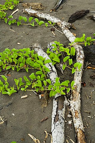 Beach vegetation on the edge of the rain forest, Tortuguero National Park, Costa Rica, Central America