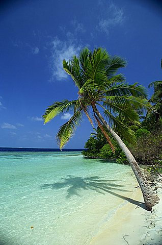 Palm tree on a tropical beach on Embudu in the Maldive Islands, Indian Ocean, Asia