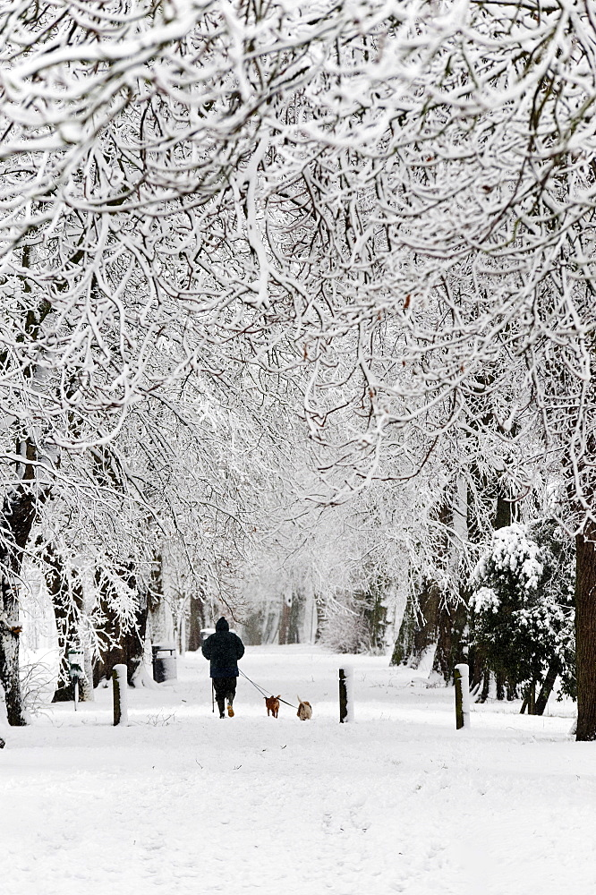 A man walks dogs through an avenue of snow covered trees at Builth Wells, Powys, Wales, United Kingdom, Europe