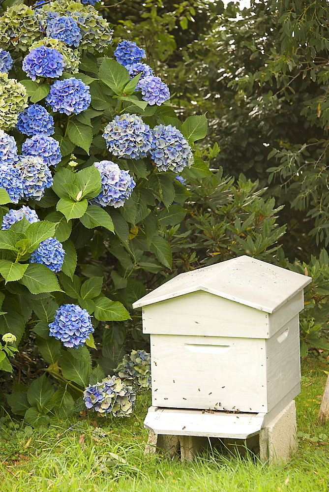 Bee hive and blue hydrangea, Botanical gardens of Chateau de Vauville, Cotentin, Normandy, France, Europe - 665-5488