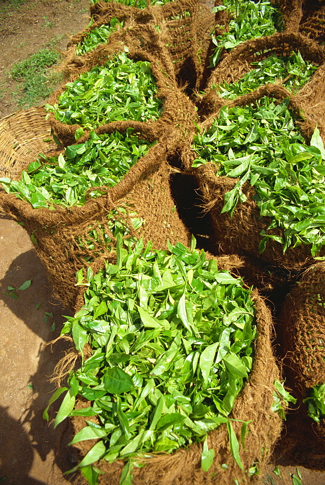 Close-up of sacks of freshly picked tea near Nuwara Eliya in Sri Lanka, Asia