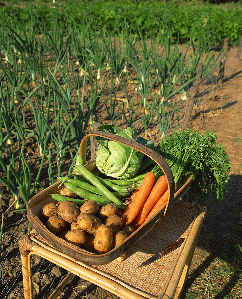 A basket of vegetables, potatoes, carrots, beans and cabbage, outdoors, produced in an allotment, onions growing in the background, Kent, England, United Kingdom, Europe