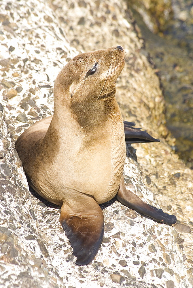 Baby harbor seal, Child's Beach, La Jolla, near San Diego, California, United States of America, North America