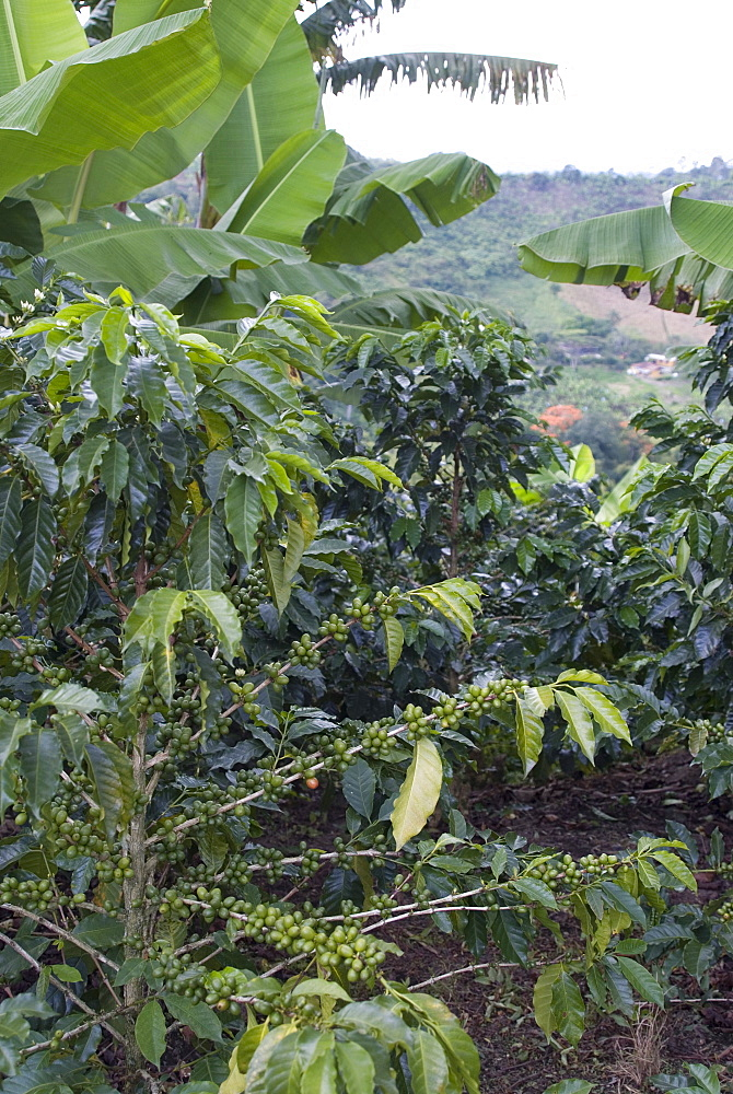 Coffee beans growing on the vine, Recuca Coffee, near Armenia, Colombia, South America