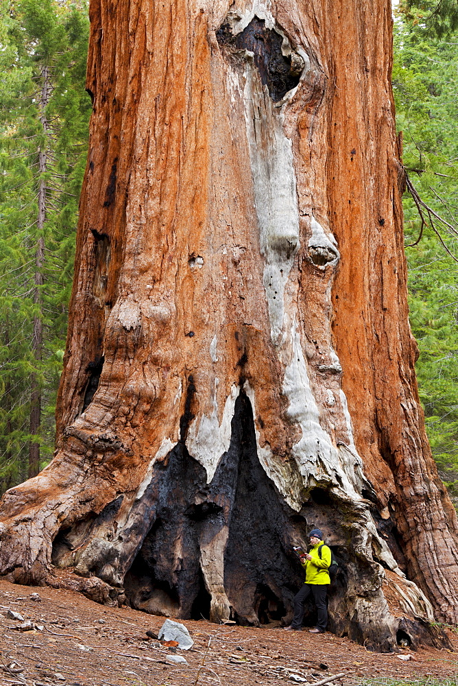 Hiker resting by the Faithful Couple, Giant Sequoia trees (Sequoiadendron giganteum), Mariposa Grove, Southern Yosemite, Yosemite National Park, UNESCO World Heritage Site, Sierra Nevada, California, United States of America, North America