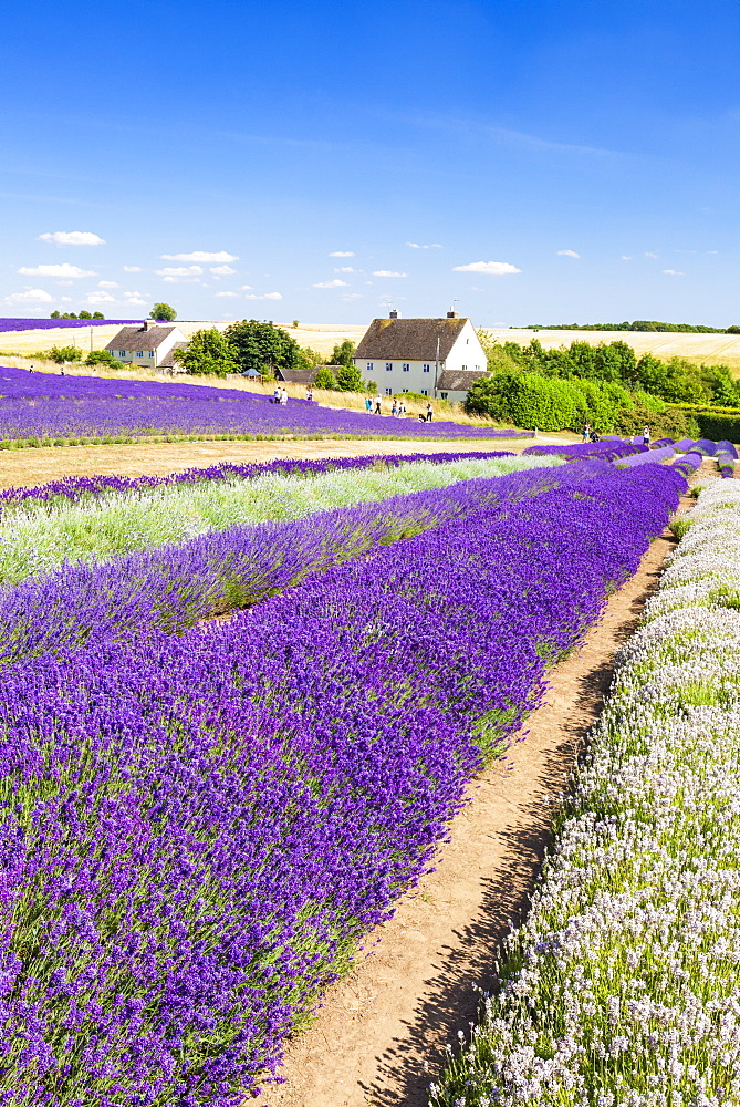 Rows of lavender in a lavender field at Cotswold Lavender, Snowshill, Broadway, the Cotswolds, Gloucestershire, England, United Kingdom, Europe