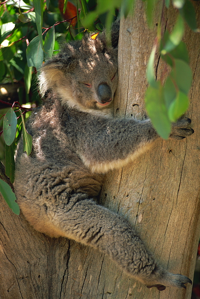 Close-up of a koala bear sitting in the fork of a gum tree, Parndana Wildlife Park, Kangaroo Island, South Australia, Australia, Pacific
