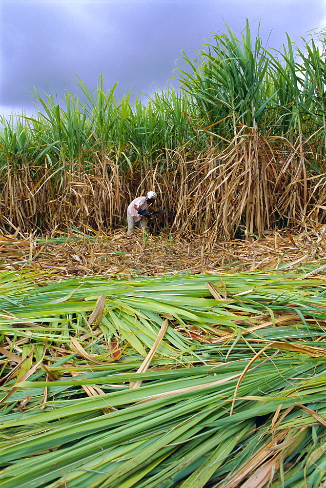 Sugar cane cutting by hand, Reunion Island, Indian Ocean