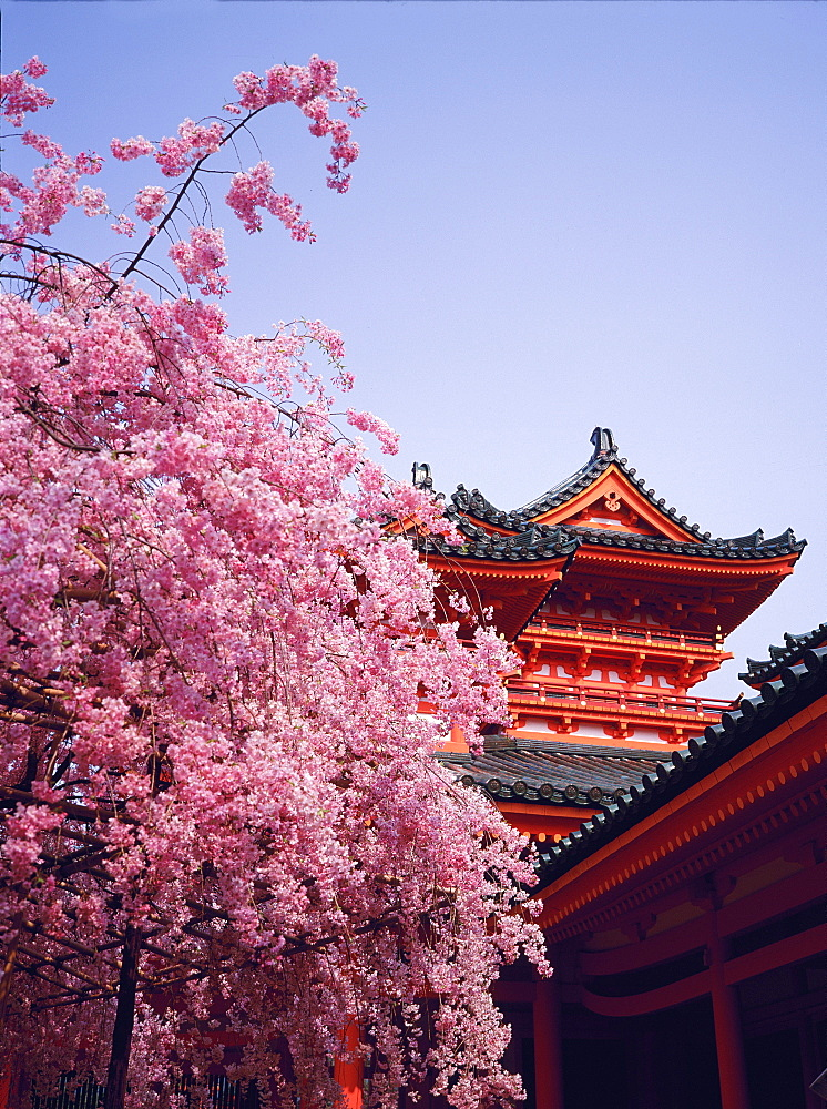 Detail of the Heian Temple and flowering cherry tree, Kyoto, Japan