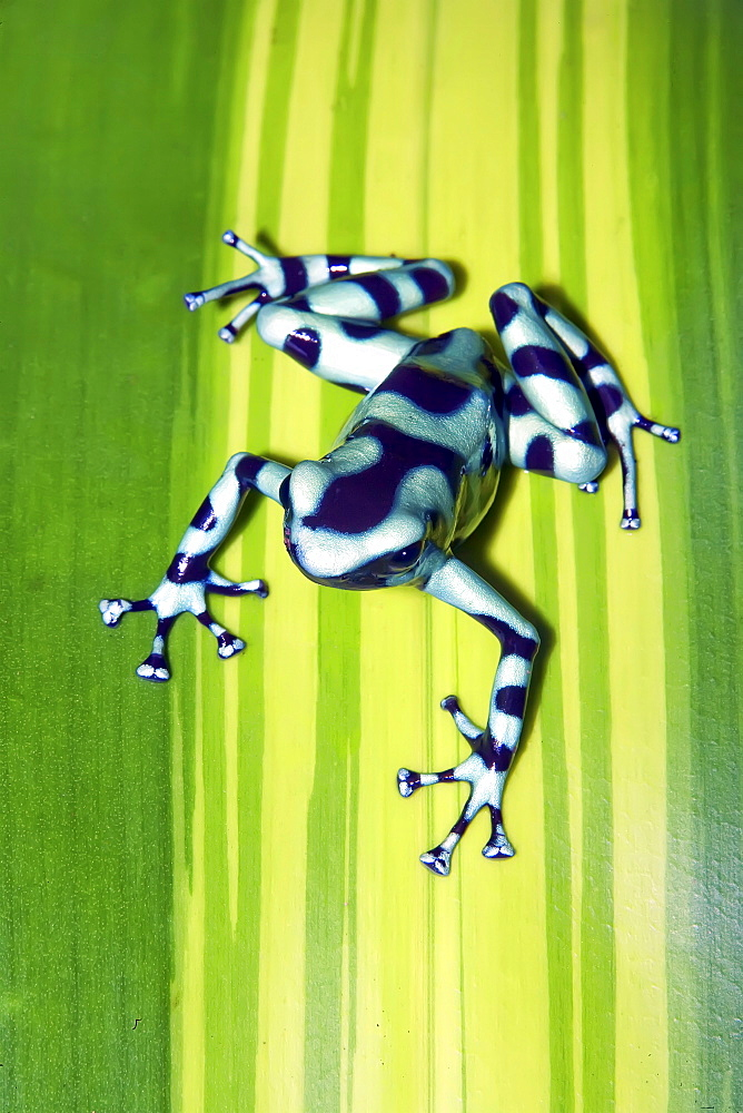 Black and green dart frog (Dendrobates auratus), Costa Rica, Central America - 718-1746