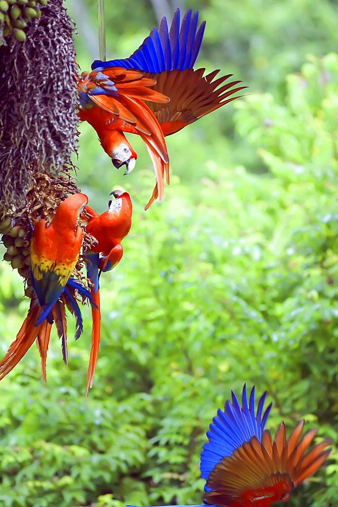 Scarlet Macaws (Ara macao) arguing, Corcovado National Park, Osa Peninsula, Costa Rica, Central America - 718-1747