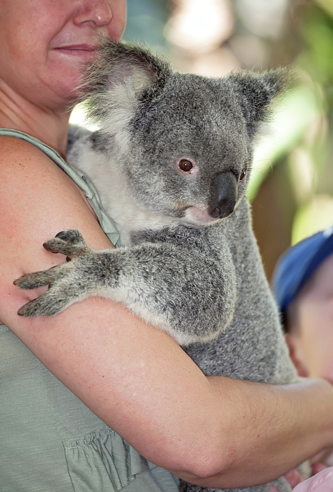 Koala hugging (Phascolarctos Cinereous), Lone Pine Koala Sanctuary, Brisbane, Queensland, Australia, Pacific