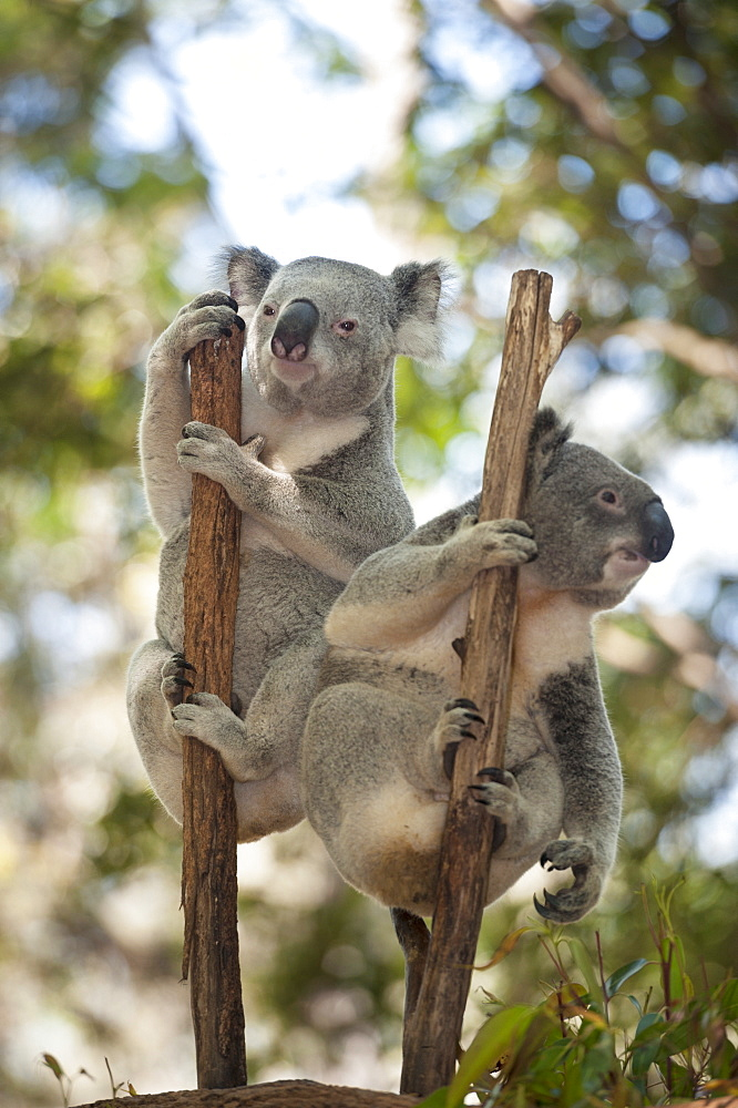 Two koalas (Phascolarctos Cinereous) hanging on a tree, Lone Pine Koala Sanctuary, Brisbane, Queensland, Australia, Pacific