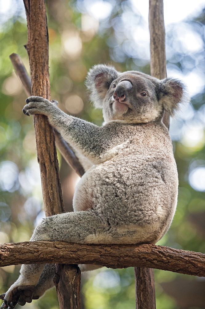Koala (Phascolarctos Cinereous) resting in tree, Lone Pine Koala Sanctuary, Brisbane, Queensland, Australia, Pacific