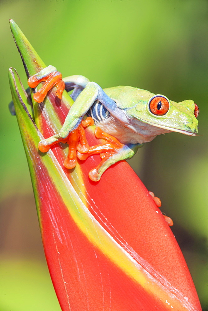 Red eyed tree frog (Agalychins callydrias) on red flower, Sarapiqui, Costa Rica