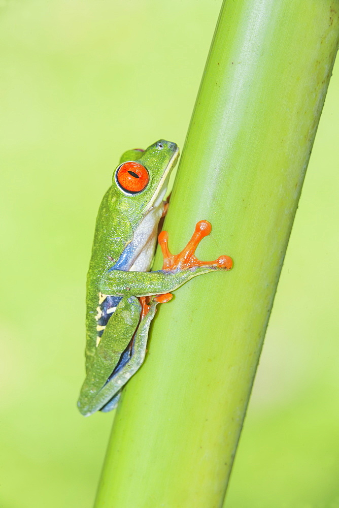 Red eyed tree frog (Agalychins callydrias) climbing green stem, Sarapiqui, Costa Rica