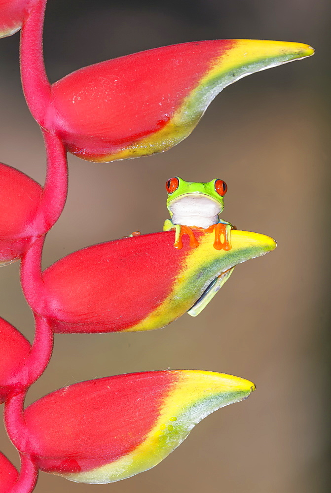 Red eyed tree frog (Agalychins callydrias) on Heliconia flower, Sarapiqui, Costa Rica