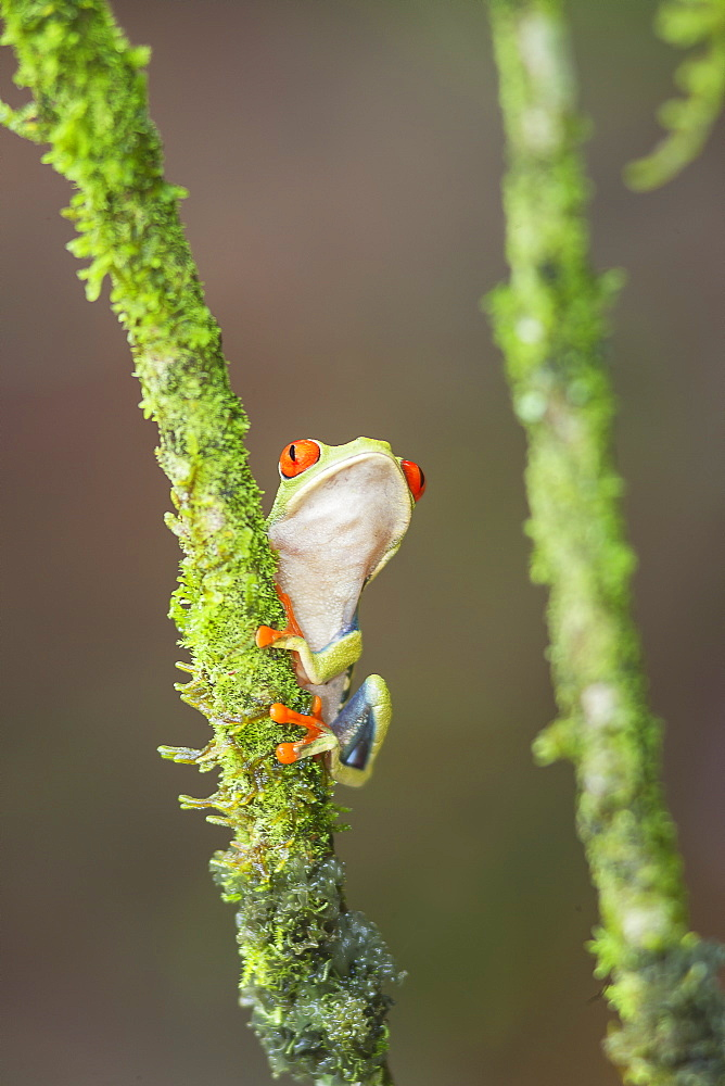 Red eyed tree frog (Agalychnis Callidryas) climbing twig, Sarapiqui, Costa Rica, Central America