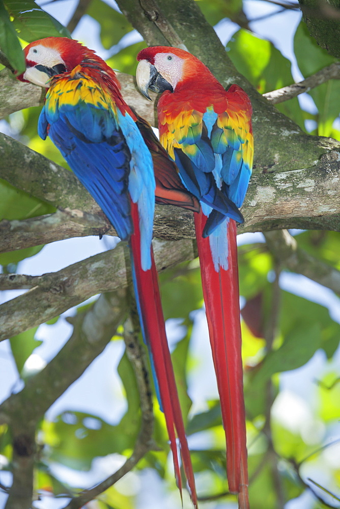 Scarlet Macaws (Ara macao) perching on a tree, Corcovado National Park, Osa Peninsula, Costa Rica, Central America