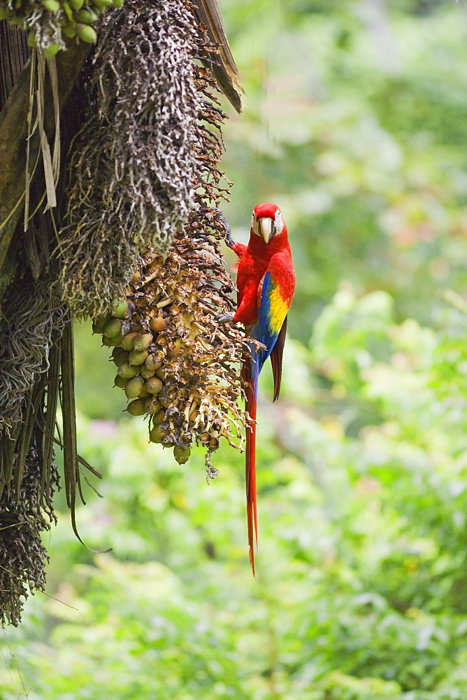 Scarlet Macaw (Ara macao) perching on a tree, Corcovado National Park, Osa Peninsula, Costa Rica