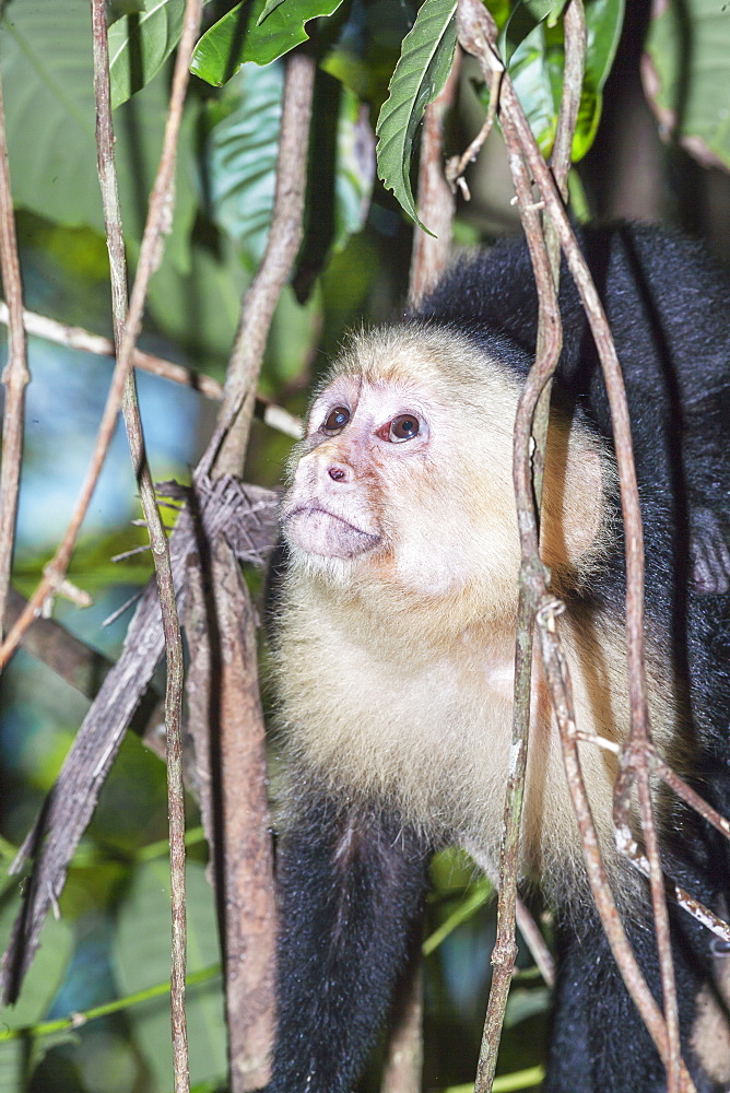 White-faced capuchin monkey (Cebus capucinus) in rainforest, Manuel Antonio National Park, Puntarenas Province, Costa Rica, Central America