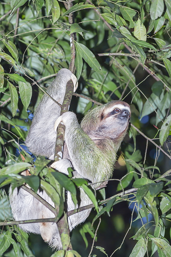 Two-toed sloth (Choloepus hoffmanni) moving up tre, Manuel Antonio National Park, Puntarenas Province, Costa Rica.