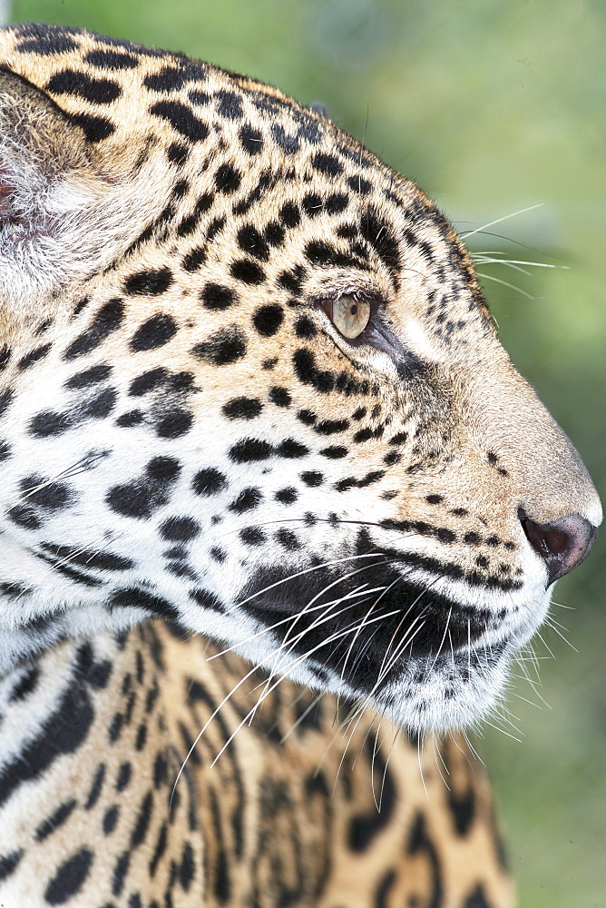 Close-up of an adult male Jaguar (Panthera onca), Costa Rica, Central America