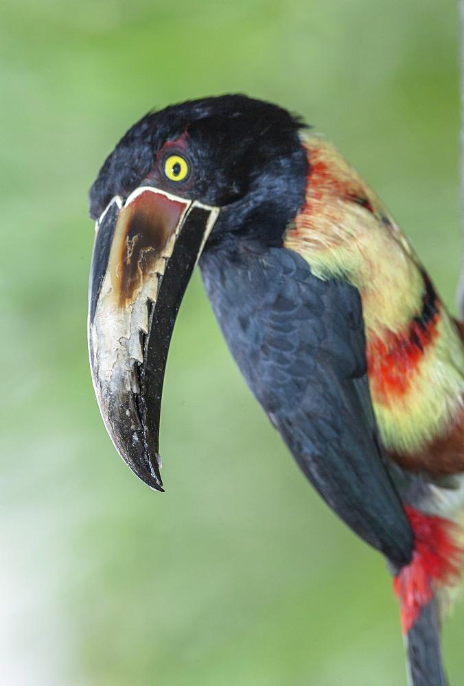 Collared Aracari (Pteroglossus torquatus), Sarapiqui, Costa Rica, Central America