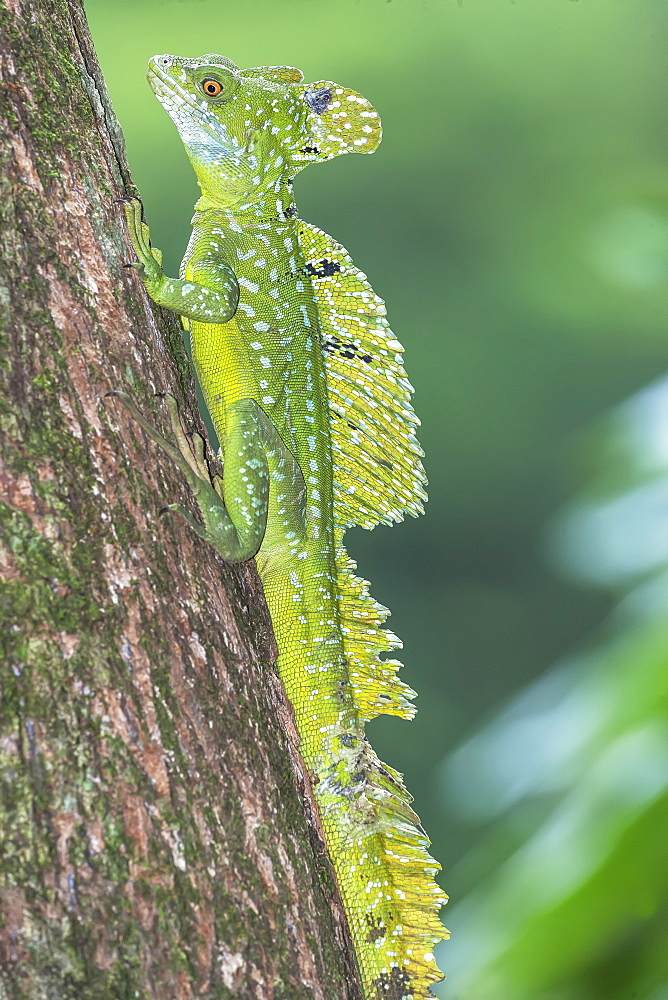 Plumed Basilisk (Basiliscus plumifrons) moving up tree, Costa Rica, Central America