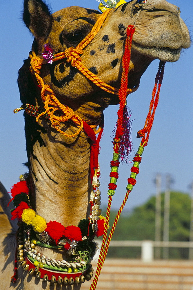 Camel adorned with colourful tassels, Bikaner Desert Festival, Rajasthan state, India, Asia - 718-845