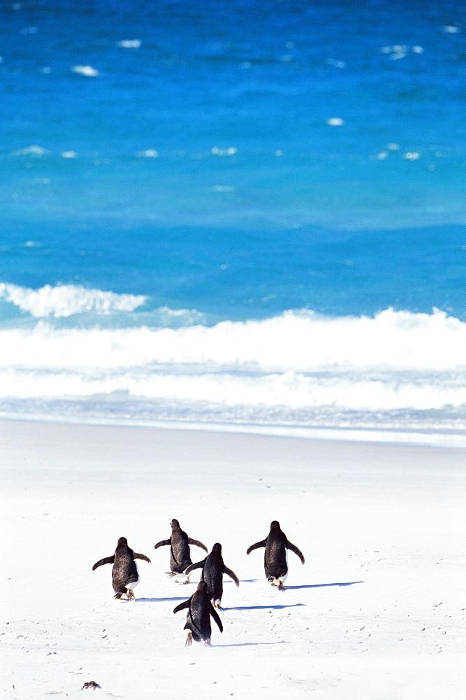 King penguins (Aptenodytes patagonicus) running into the sea, Volunteer Point, East Falkland, Falkland Islands, South Atlantic, South America