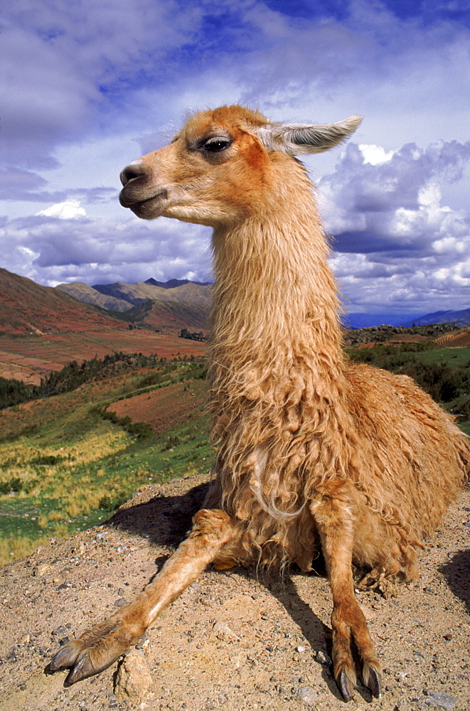 Llama, Cusco, Peru